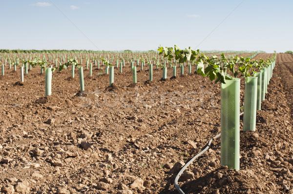 Recentemente campo verde indústria uvas vintage Foto stock © deyangeorgiev