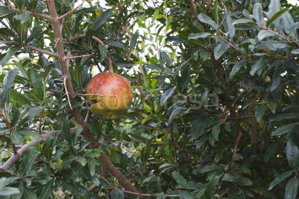 Gránátalma fák gyümölcsök gyümölcs kert háttér Stock fotó © deyangeorgiev