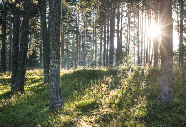 Sunrays in the woods Stock photo © deyangeorgiev