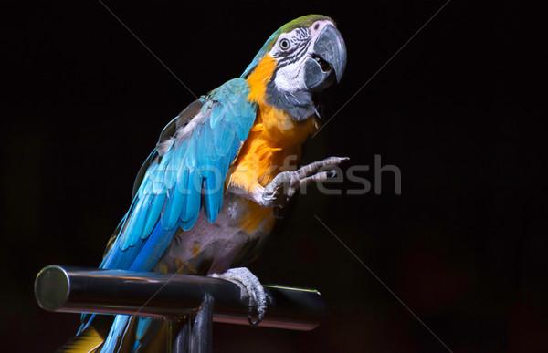 オウム サーカス 青 赤 熱帯 動物 ストックフォト © deyangeorgiev