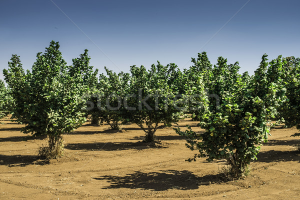 Hazel tree plantation Stock photo © deyangeorgiev