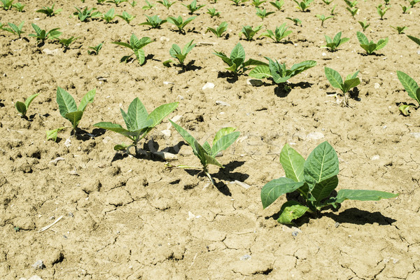 Plantation of young tobacco plants Stock photo © deyangeorgiev