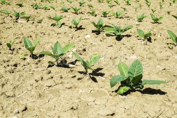 плантация молодые табак растений лет время Сток-фото © deyangeorgiev