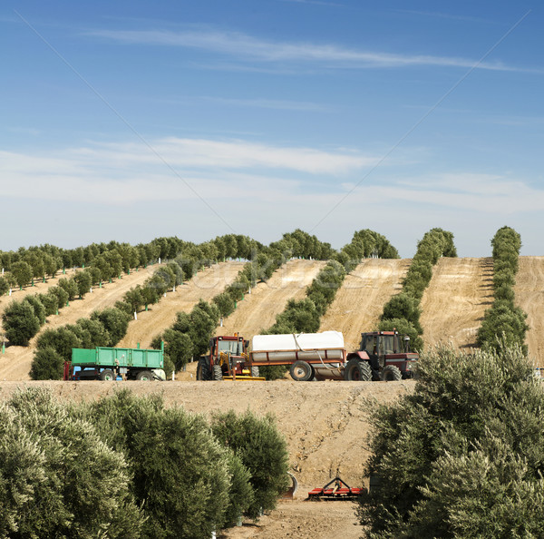 Olive plantation Stock photo © deyangeorgiev