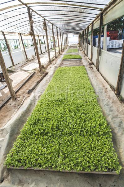 Lettuce plantation seedlings Stock photo © deyangeorgiev