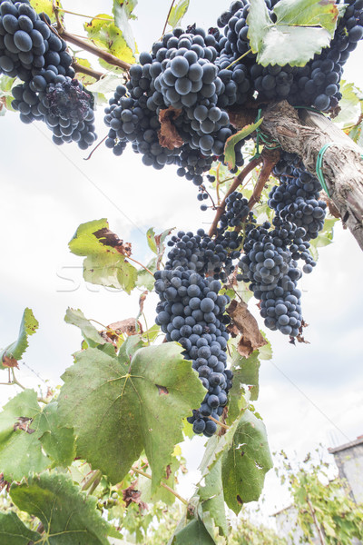 синий виноград массив вино лист фрукты Сток-фото © deyangeorgiev