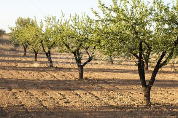 Mandula ültetvény fák kék ég fa természet Stock fotó © deyangeorgiev