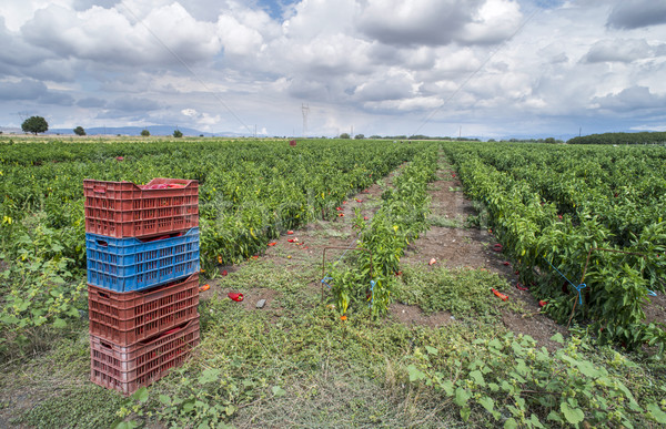 Crate with peppers Stock photo © deyangeorgiev