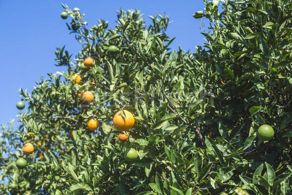 Orange arbres plantation agriculture fruits vert Photo stock © deyangeorgiev