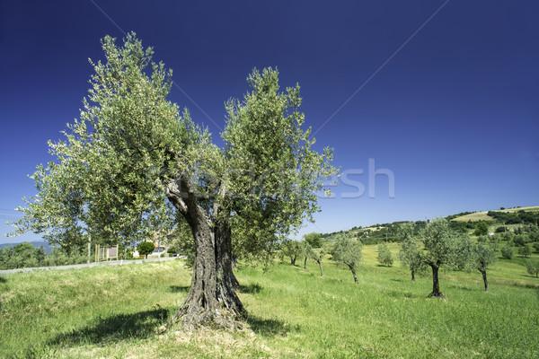 Olive tree in Italy Stock photo © deyangeorgiev