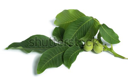 Green walnuts and leaves Stock photo © deyangeorgiev