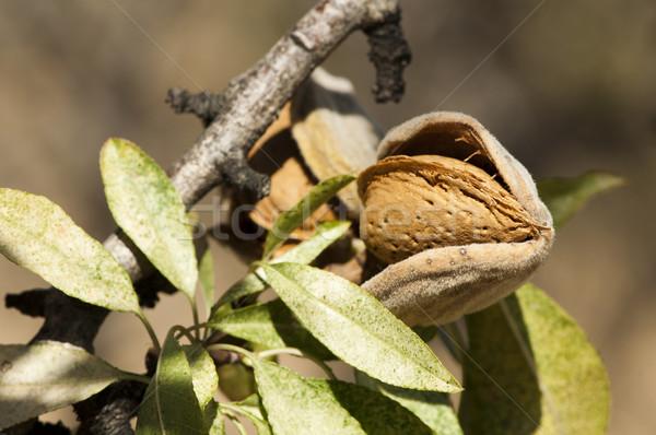 Nearly ripe almonds Stock photo © deyangeorgiev