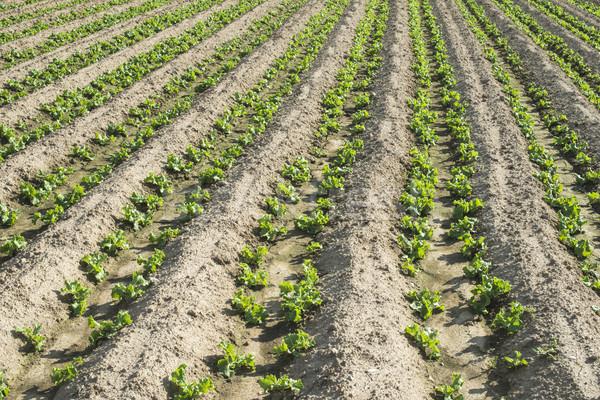 Lettuce plantation field Stock photo © deyangeorgiev