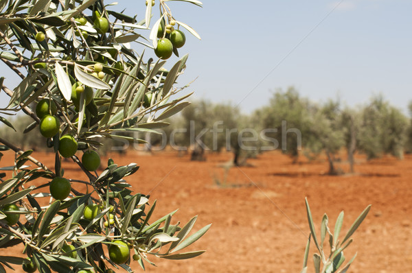 Olive plantation and olives on branch Stock photo © deyangeorgiev