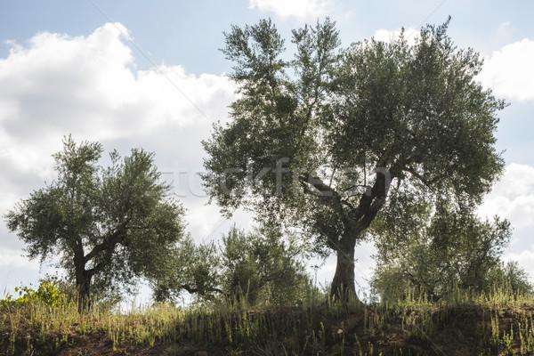 De oliva árboles plantación agrícola tierra fondo Foto stock © deyangeorgiev