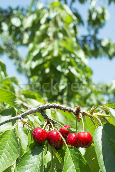 Twig with red cherries Stock photo © deyangeorgiev