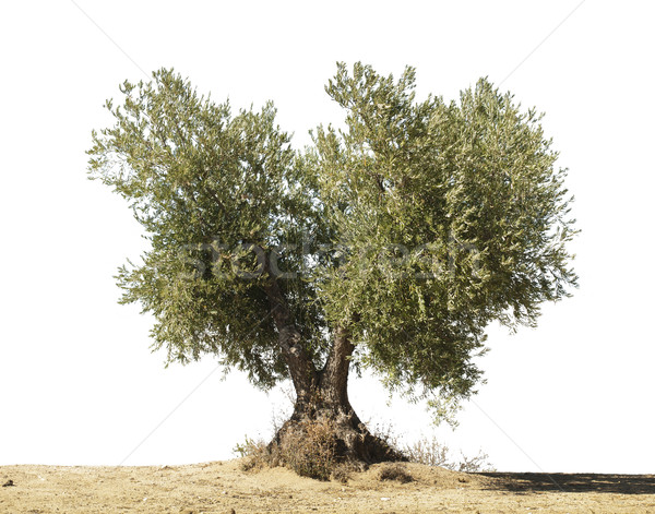 Olive tree white isolated Stock photo © deyangeorgiev