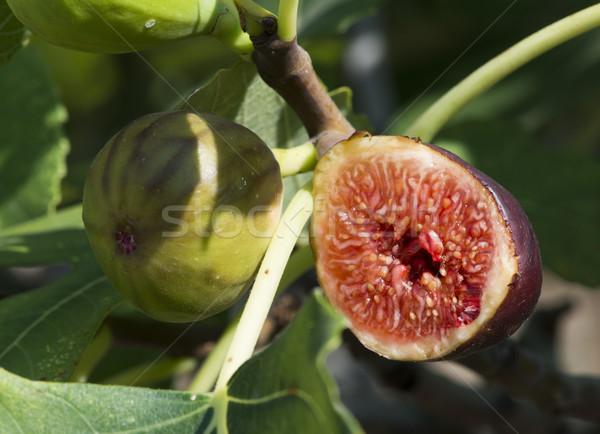 Fig on tree between the leaves Stock photo © deyangeorgiev