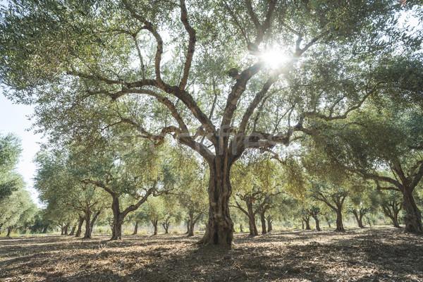 Olive trees and sun rays Stock photo © deyangeorgiev