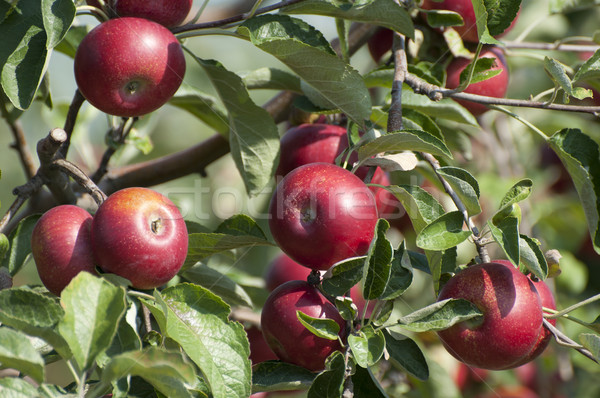 Apple tree Stock photo © deyangeorgiev