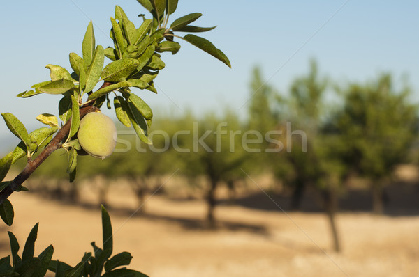 Almond fruit on the branch Stock photo © deyangeorgiev