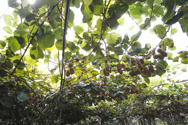 Kiwi plant Stock photo © deyangeorgiev