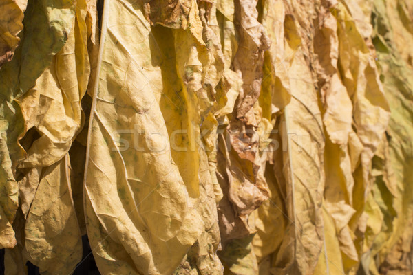 сушат табак листьев желтый текстуры Сток-фото © deyangeorgiev