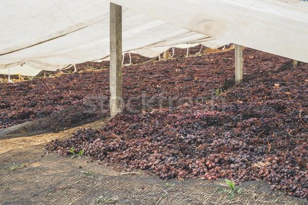 Drying grapes for raisins Stock photo © deyangeorgiev