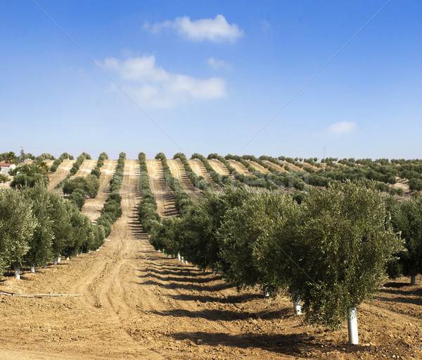 Young olive trees Stock photo © deyangeorgiev