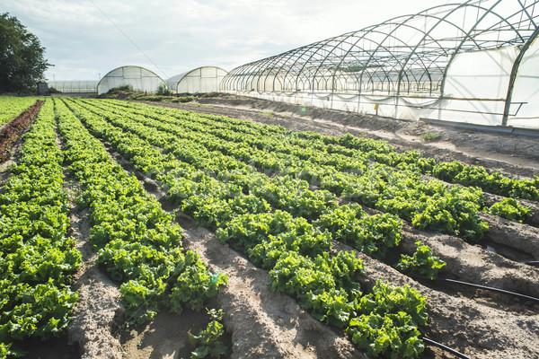 Sla plantage veld dag licht Griekenland Stockfoto © deyangeorgiev