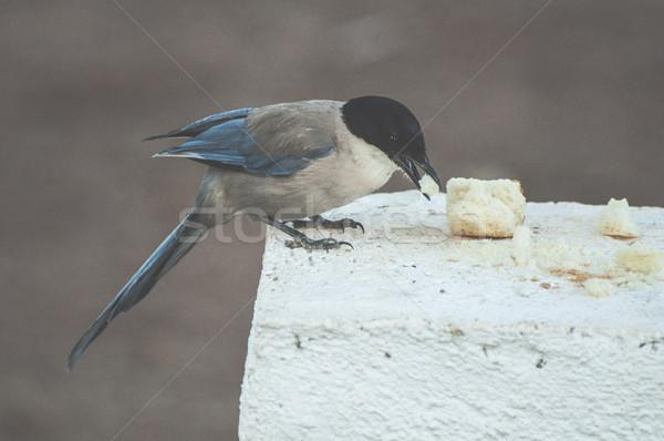 Bird eat bread Stock photo © deyangeorgiev
