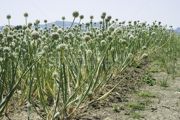 плантация лука лет время продовольствие Сток-фото © deyangeorgiev