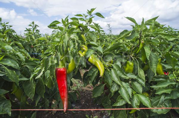 Paprika veld groene Rood papieren Stockfoto © deyangeorgiev