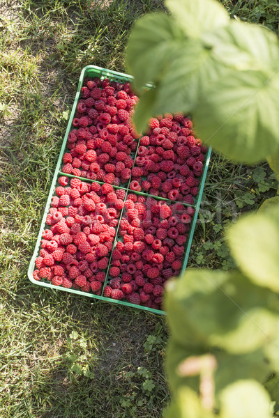 Framboesas verde jardim fruto verão Foto stock © deyangeorgiev