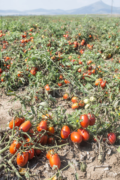 Tomatoes grown in the field Stock photo © deyangeorgiev