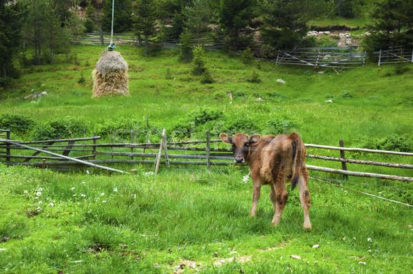 Broun young calf  Stock photo © deyangeorgiev