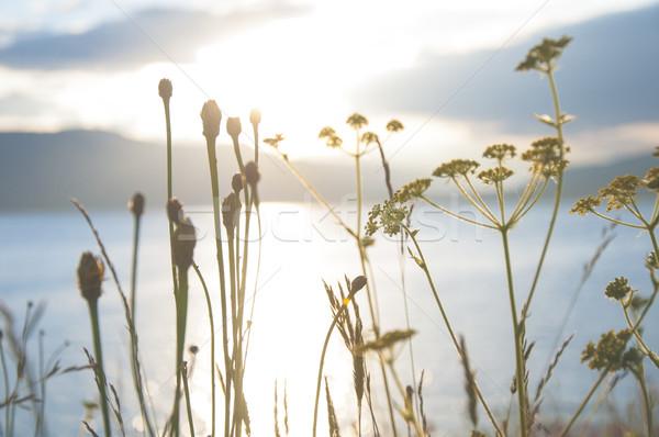 Sunset seen through the grass Stock photo © deyangeorgiev