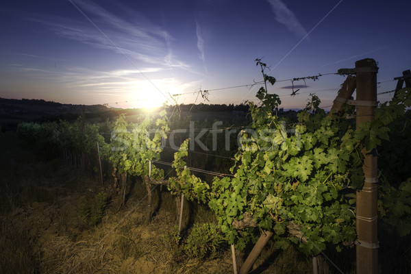 Vienyards at sunset Stock photo © deyangeorgiev