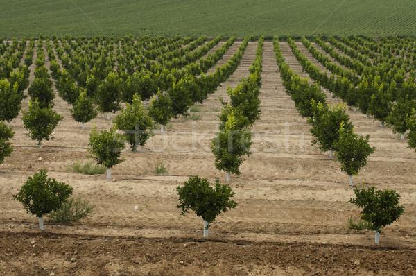 Yang orange trees plant Stock photo © deyangeorgiev