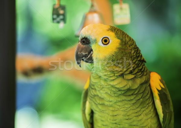 Zielone papuga charakter tle ptaków portret Zdjęcia stock © deyangeorgiev