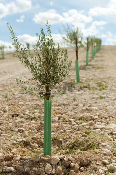 Yang olive trees in a row Stock photo © deyangeorgiev