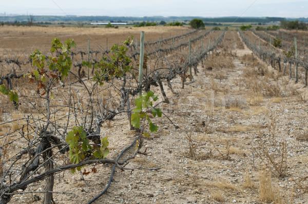 Poor harvest vineyards Stock photo © deyangeorgiev