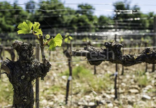 Budding vineyards Stock photo © deyangeorgiev