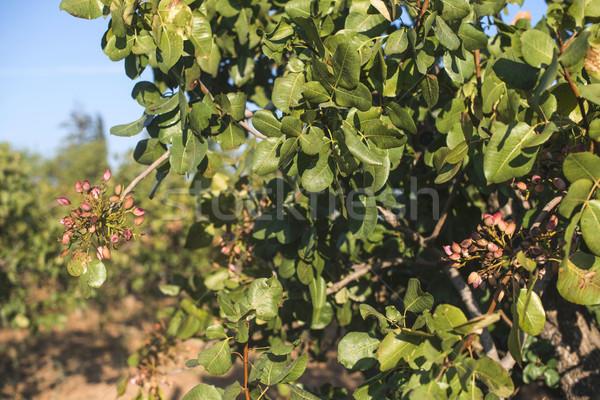 Pistache arbre branche fruits Photo stock © deyangeorgiev