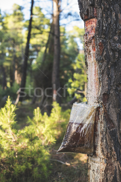Collect of resin on tree Stock photo © deyangeorgiev