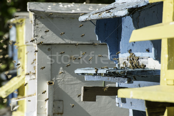 Swarm of bees fly to beehive Stock photo © deyangeorgiev