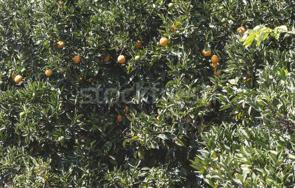 Orange trees in plantation Stock photo © deyangeorgiev