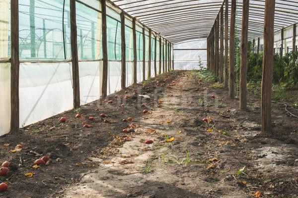Vacío tomate invernadero Grecia alimentos hoja Foto stock © deyangeorgiev