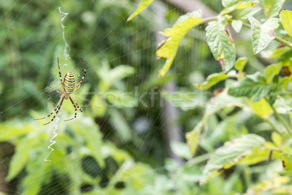 Spider in a garden Stock photo © deyangeorgiev