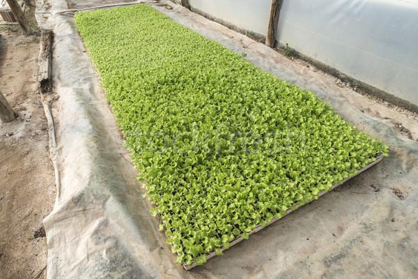 Alface plantação mudas estufa comida folha Foto stock © deyangeorgiev